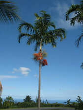 Carpentaria acuminata / Palmier de Carpentier - lot de 10 graines