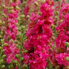 DELPHINIUM Larkspur Imperial Scarlet Spire Seeds (F 378)