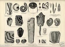 1885= PREISTORIA= FOSSILI SILURIANO = Stampa Antica = Old Engraving