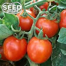 Cherry Tomato Seeds 125 SEEDS NON-SAME DAY SHIPPING