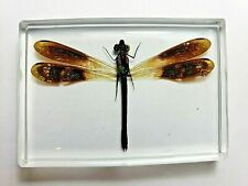 RHINOCYPHA FENESTRATA. Real Damselfly insect embedded in clear resin