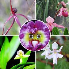 Saatgut Pflanzensamen 100 Stk. Monkey Face Affe Gesicht Orchidee Blemen Samen DE