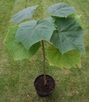 10000 kiri Paulownia Elongata sementes SEED + manual how to plant!