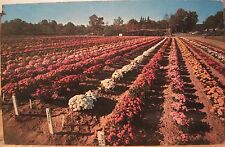 Connecticut Postcard CHRYSTANTHEMUMS Mums Garden Display BRISTOL CT Rows Flowers