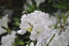 100  WHITE CRAPE MYRTLE * SEEDS * BLOOMS FLOWERING SHRUBS TREES ORNAMENTAL TREES
