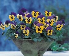 Pansy Nature Blue And Yellow 25 Pansy Seeds