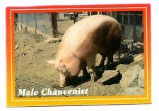 Male Chauvinist - Pig Postcard