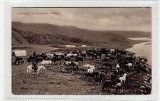 BUNCH OF WESTERN HORSES: Saskatchewan Canada postcard (C27566)