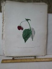 Vintage Print,NEW RED ANTWERP RASPBERRY,Fruit Print,Natural History,NY,1851