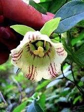 Codonopsis lanceolata x 10 seeds.Vine. Perennial. Ask for combined postage