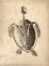 Incorniciato VINTAGE veterinaria stampa -- Tartaruga / guscio di tartaruga (foto poster arte anatomia)