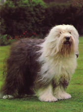 OLD ENGLISH SHEEPDOG LOVELY DOG GREETINGS NOTE CARD