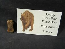 Ice Age Cave Bear Finger Bone Fossil Romania with Display Label Pleistocene Age.