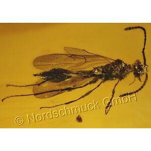 Bernstein Inkluse Inklusen Einschluss Insekt Erzwespe und Pilzmücke IN242