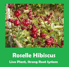 "QTY 2 !! ROSELLE HIBISCUS TREE 18""-24"" TALL, STRONG ROOT SYSTEM - BRANCHED"