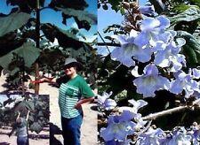 Blauglocken-Baum mediterrane Pflanze Gehölz für den Balkon Blumentopf winterhart