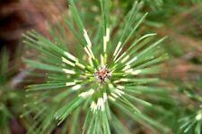 75 Dragon Eye Japanese Black Pine Tree Seeds Unique Bonsai Seeds Evergreen