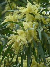 WEEPING ACACIA SEEDS ACACIA FLORIBUNDA SEED NATIVE FLOWERING SHRUB 20 SEED PACK
