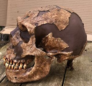 Homo neanderthalensis Shanidar 1 Skull 1:1 size