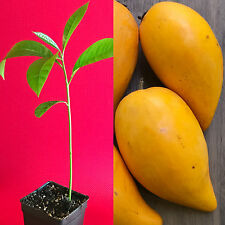 Canistel Yellow Sapote Egg Fruit Pouteria Campechiana Starter Plant Tree 7-12""