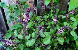 Basil Radiance (African Blue Basil) - Ocimum basilicum – 150 + Herb Seeds