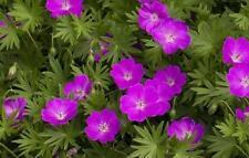 Cranesbill Perennial Flowers & Plants