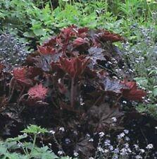 6 HEUCHERA 'PALACE PURPLE' MEDIUM PLUG PLANTS  - HP