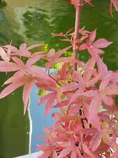 Rare Verna Jean Japanese Maple. Perfect for Bonsai or garden. 28 inches tall.