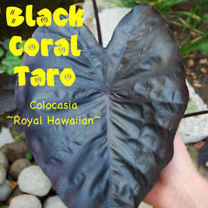 ~Black Coral Elephant Ear~ TARO Colocasia esculenta POTTED NEVER BARE ROOT PLANT
