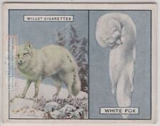 White Arctic Fox And Its Fur Pelt Trapping Hunting c90 Y/O Ad Trade Card