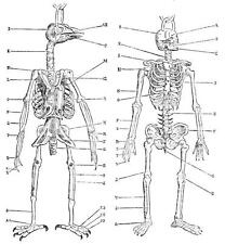 Print. 1880s. Comparing Skeletons of a Bird and Human