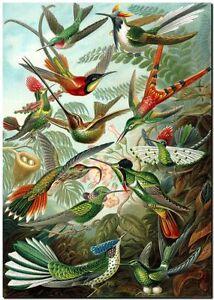 """ERNST HAECKEL CANVAS PRINT Art Nouveau Vintage Nature 8""""X 10"""" Hummingbirds"""