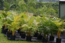 Chrysalidocarpus lutescens  Palm  o  Areca  Golden palm 20 seed. Fresh.