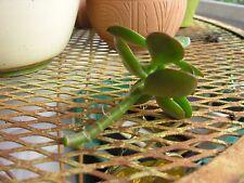 2 Jade Succulent Crassula Ovata Unrooted Cutting, House Plant, Drought Tolerant