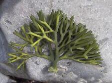 Live Frag Codium Dead Mans Finger Macro Algae Plant Reef Refugium Saltwater
