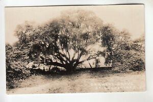 Real Photo Postcard Giant Tree Garnet Grove St Augustine FL