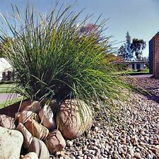 TUSSOCK GRASS SEEDS LOMANDRA SPICATA ORNAMENTAL LANDSCAPING GRASS 80 SEED PACK