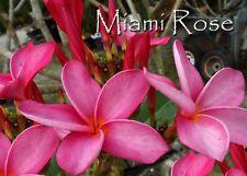 Psa#187 Rare & Exotic! *Miami Rose* Plumeria Frangipani cutting Rare Exotic