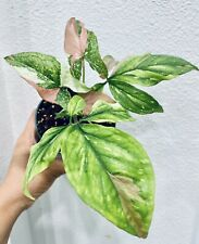 SUpER RARE Syngonium Red Spot Tri Color -Well Established  W/ 2 Growth Points