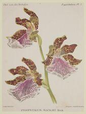 COGNIAUX GOOSSENS ZYGOPETALUM MACKAYI HOOK ORCHIDEE ORCHIDS ORCHIDEE FIORI 1800