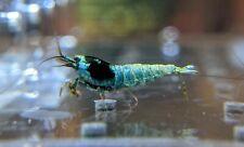 5+1 Shadow Mosura Shrimp_Blue Bolt Mosura_Taiwan Bee Shrimp_Shrimpy Business