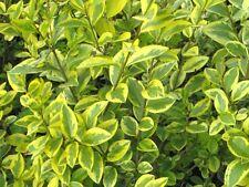 5 x Ligustrum ovalifolium aureum aureomarginata (Golden Privet) hedging plants.