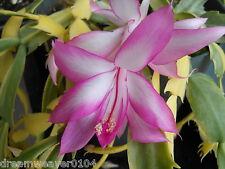Schlumbergera / Variegated Christmas Cactus 'Carnival'