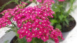 Achillea Saucy Seduction 2litre pots- Good for bees & butterflies