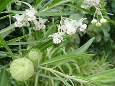 1x GIANT Balloon Cotton Bush / Swan Plant / Family Jewels Milkweed ( Asclepias )