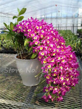 100 Pcs Dendrobium Seeds, Potted Seed Flower In Bonsai Rare Orchid Plants Mixed