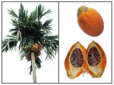 BETEL NUT PALM RARE ARECA CATECHU VIABLE FRESH SEED READY PLANT BING LANG 2 Seed
