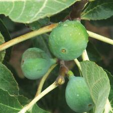Fig Full Sun Fruit Plants