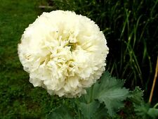 "Papaver peoniflorum (Poppy) ""Peony Cream"" x  50 seeds. Gift in store"