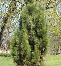 NERO mandibola Oregon Green-Pinus nigra Oregon Green